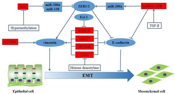 Regulation of EMT in CRC by lncRNAs.