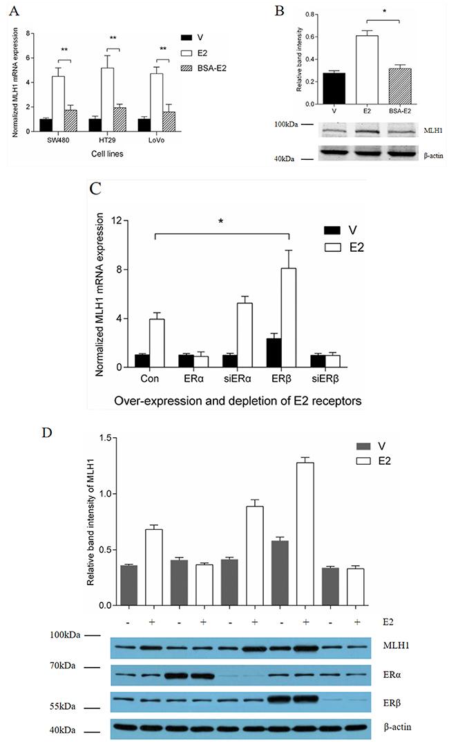 Effect of ERβ on estrogen induction of MLH1 expression.
