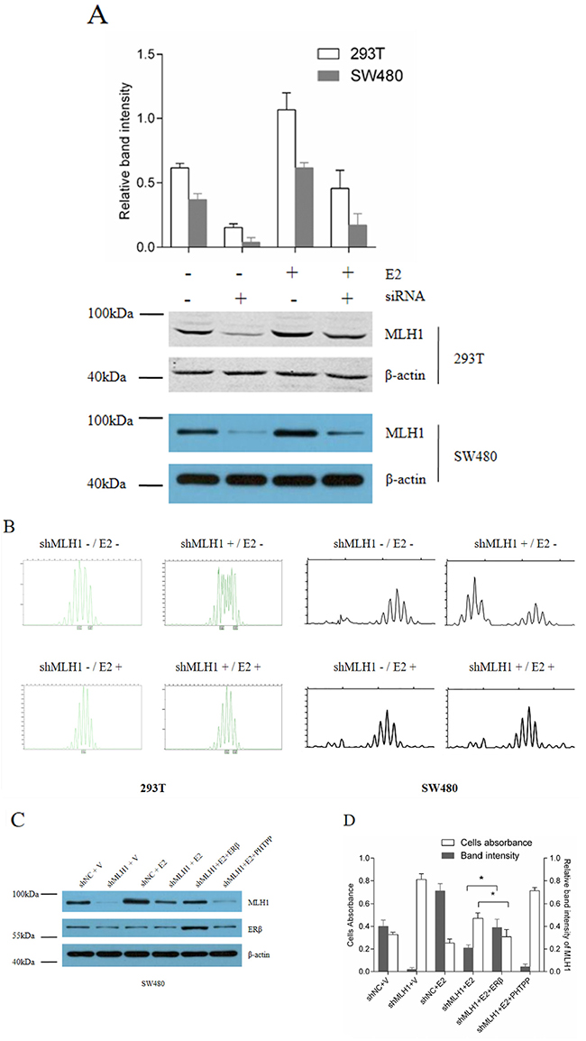 E2 promotes MMR via induction of MLH1 expression in vitro.