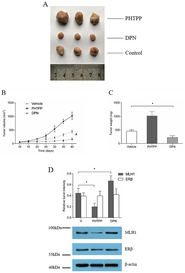 ERβ agonist inhibition of tumor growth in vivo, under treatment of 5-FU.