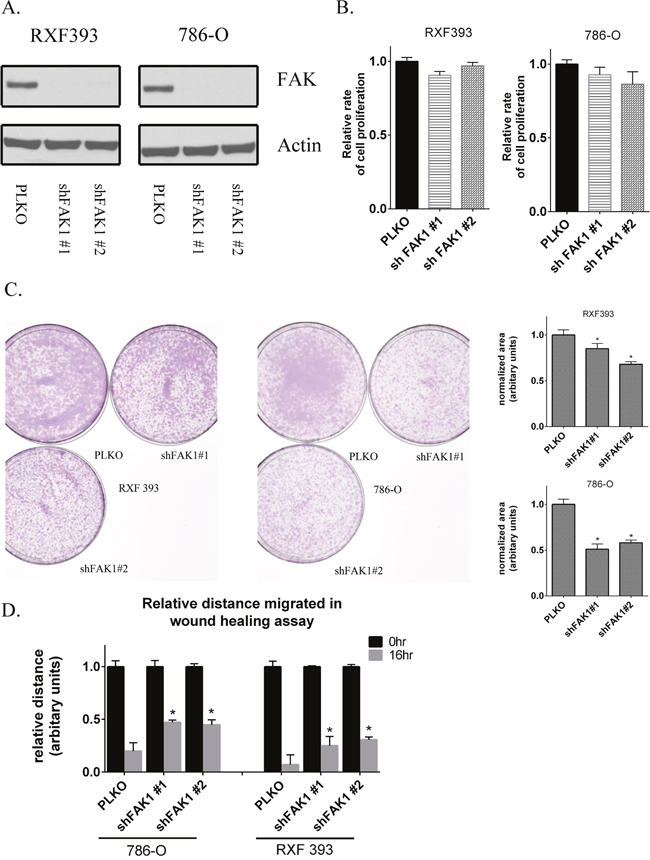 Genetic knockdown of FAK1 in RCC lines recapitulates the effects of FAK1 kinase inhibitor.