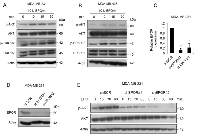 EPO activates PI3K/AKT and MAPK signaling pathways in breast cancer cells.