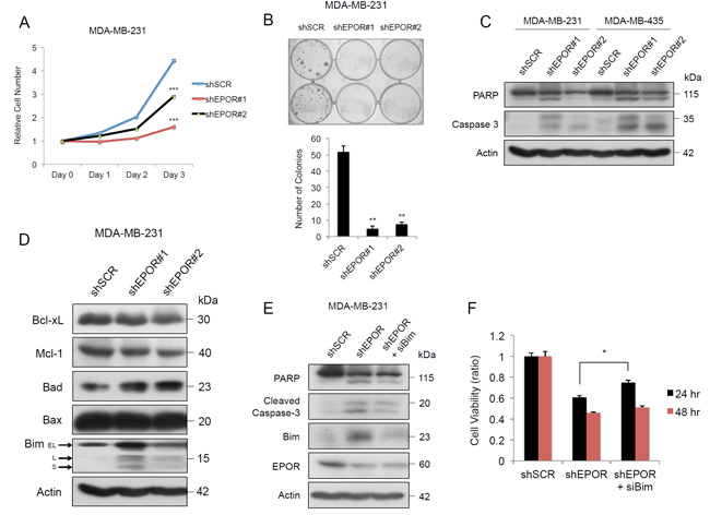 EPOR is essential for growth and prevents apoptosis in breast cancer cells.