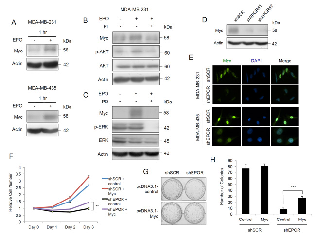 EPO induces Myc expression through PI3K/AKT and MAPK pathways and EPOR silencing decreases Myc in breast cancer cells.