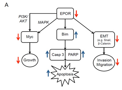 Effects of knockdown of EPOR in breast cancer cell lines.
