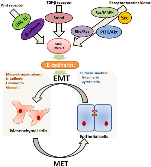 Highly simplified diagram illustrating some better elaborated transduction pathways related to EMT/MET.