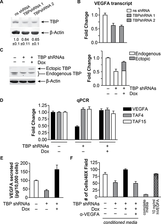 TBP concentrations regulate bioactive VEGFA expression and cell migration.