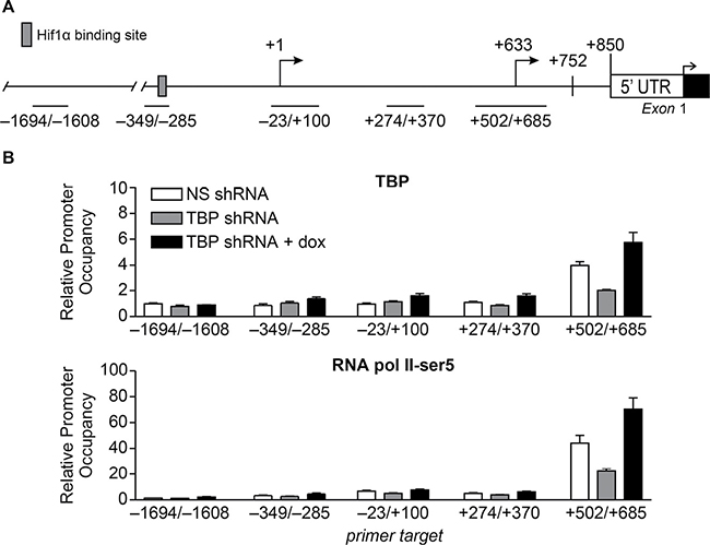 Alterations in TBP expression are positively correlated with occupancy of TBP and initiated RNA pol II at the proximal TSS.