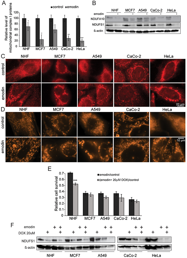 Emodin leads to mitochondrial fragmentation and ROS generation.