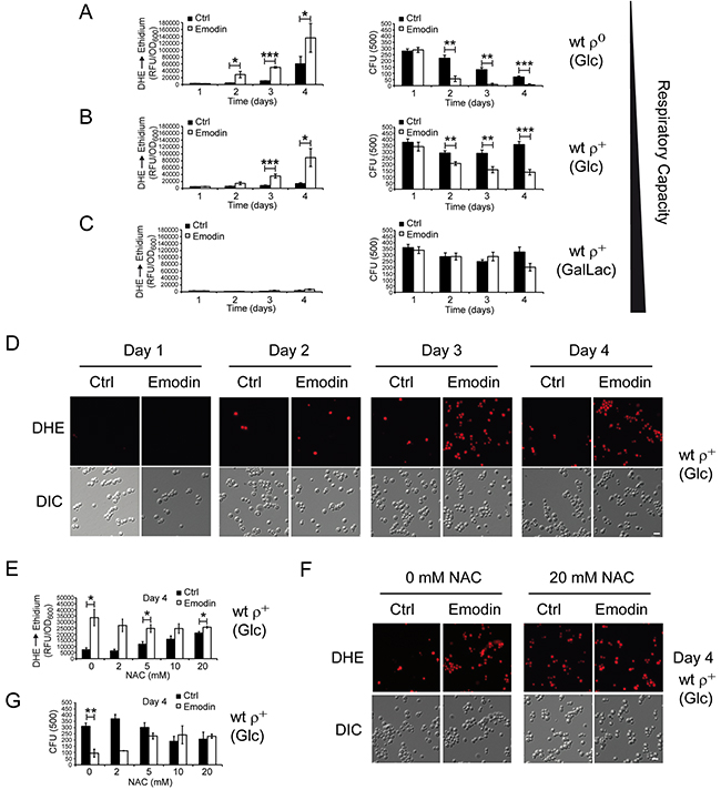 Yeast cells with low respiratory capacities demonstrate critical ROS accumulation upon emodin treatment culminating in loss of cell survival.