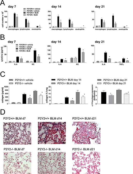 P2Y2R-deficient animals are partially protected from bleomycin induced lung injury and fibrosis.