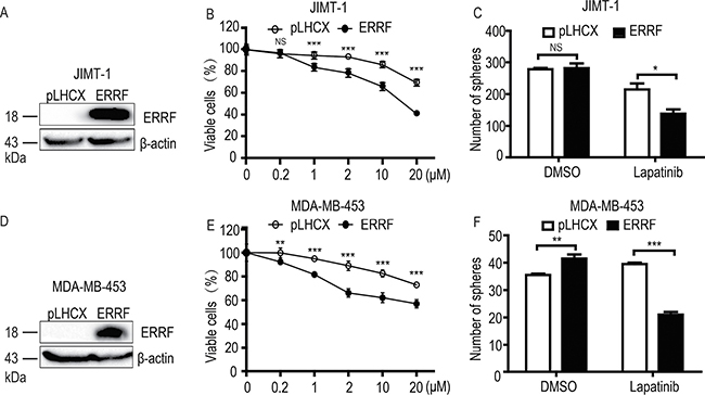 Ectopic expression of ERRF enhances lapatinib sensitivity in ERBB2-positive and lapatinib-resistant JIMT-1 and MDA-MB-453 breast cancer cell lines.