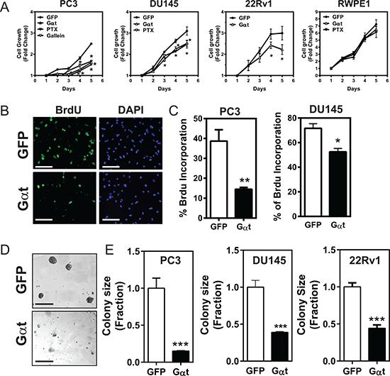 Blocking Gβγ signaling via Gαt decreases prostate cancer cell proliferation.