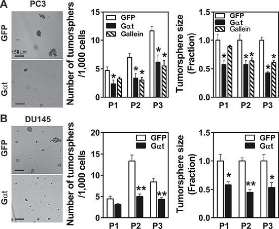 Inhibition of Gβγ signaling decreases tumorsphere-forming capability of prostate cancer cells.