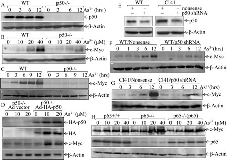 Fig 1: p50, but not p65, upregulates c-Myc expression following arsenite exposure.