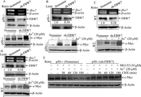 Fig 5: FBW7 was a p50 downstream mediator regulating c-Myc protein accumulation following arsenite treatment.