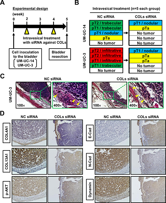 Orthotopic animal experiments for intravesical collagen blockade therapeutic approach.