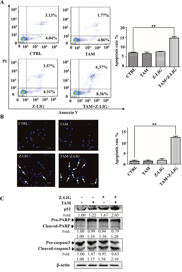 Combinatorial Z-LIG and TAM induced cell apoptosis.