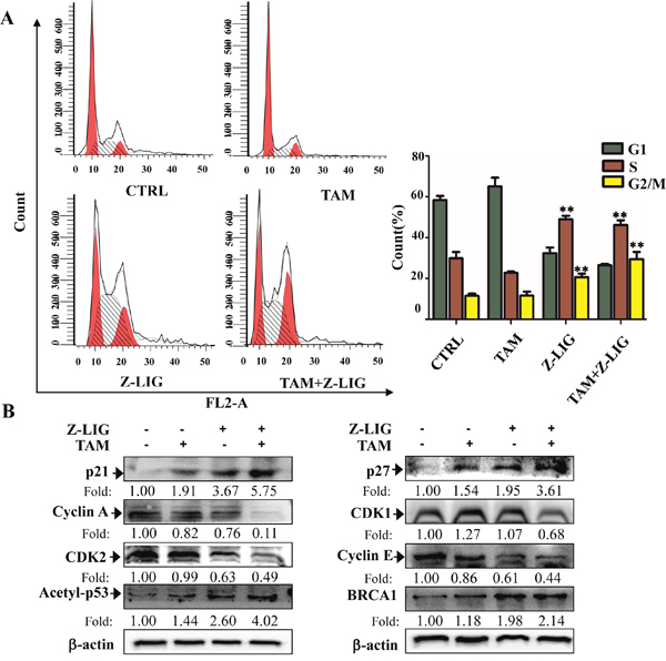 Combinatorial Z-LIG and TAM induced cell cycle arrest.