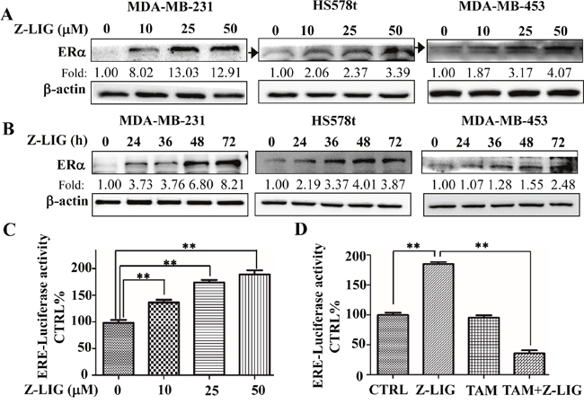 Z-LIG reactivated ERα expression and transcriptional activity in ERα- breast cancer cells.