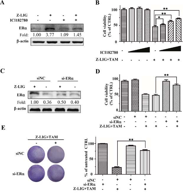 ICI and si-ERα reversed the growth inhibition of Combinatorial Z-LIG and TAM in MDA-MB-231 cells.