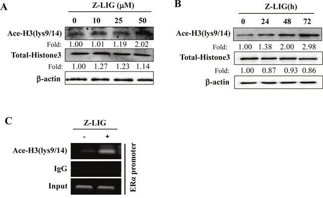 Z-LIG enhanced Ace-H3(lys9/14) expression and recruitment onto the ERα promoter in MDA-MB-231 cells.