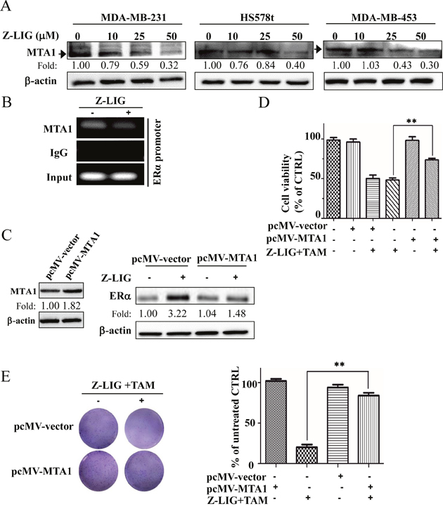 Z-LIG decreased MTA1 expression and recruitment onto the ERα promoter in ERα- breast cancer cells.