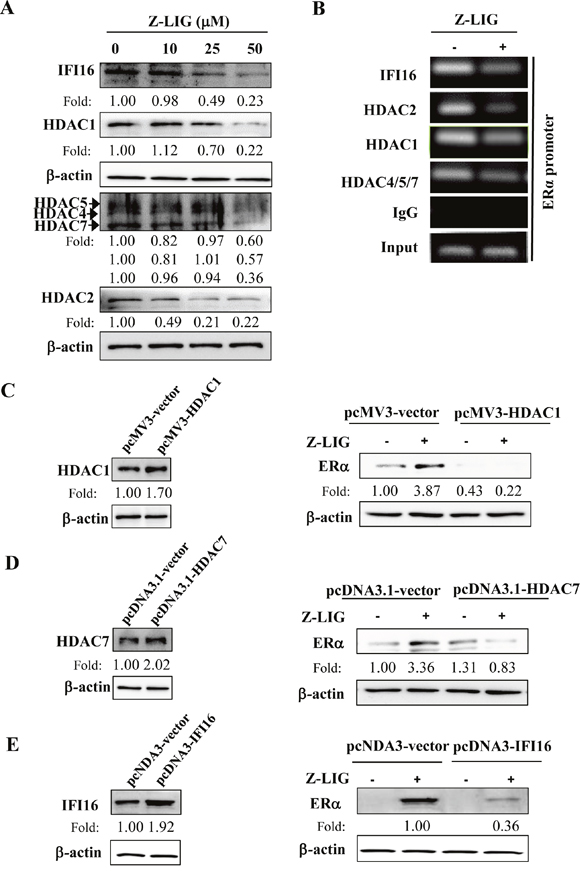 Z-LIG decreased IFI16 and HDACs expression and recruitment onto the ERα promoter in MDA-MB-231.