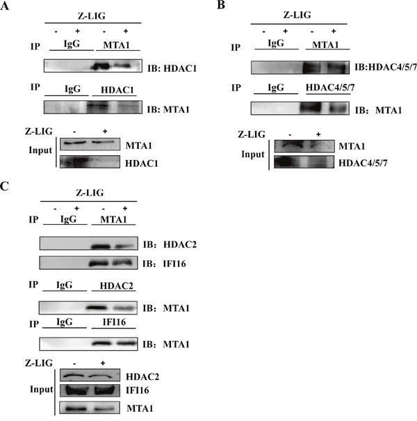 Z-LIG destabilized MTA1/IFI16/HDACs-containing NuRD complex in MDA-MB-231 cells.