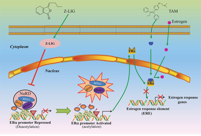 Proposed mechanism of re-expression of ERα and restoration of TAM sensitivity by Z-LIG in ERα- breast cancer cells.