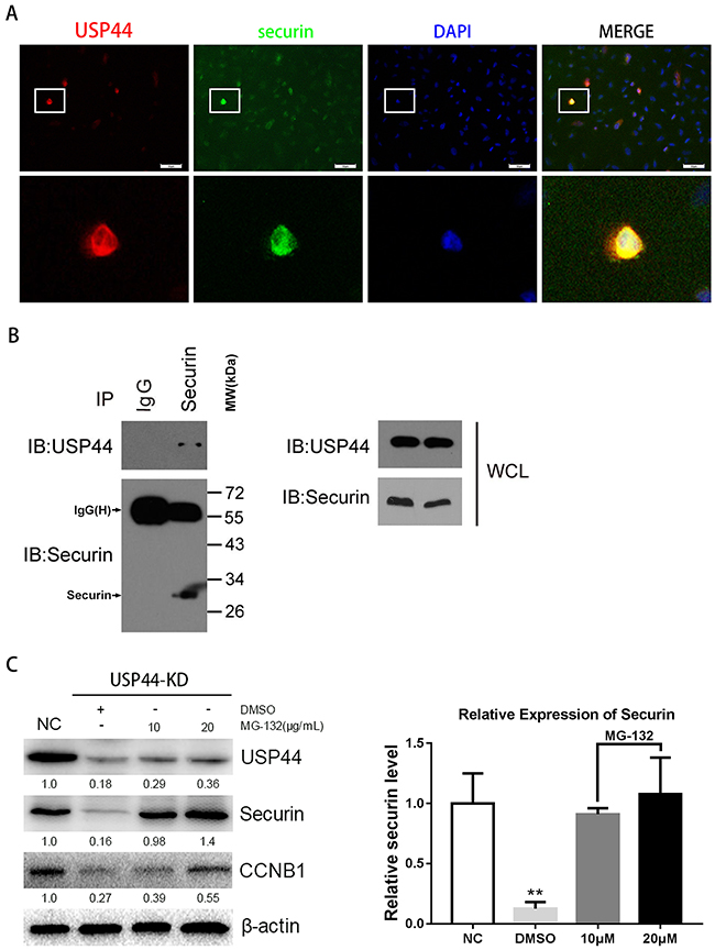 Interaction of endogenous USP44 and securin.
