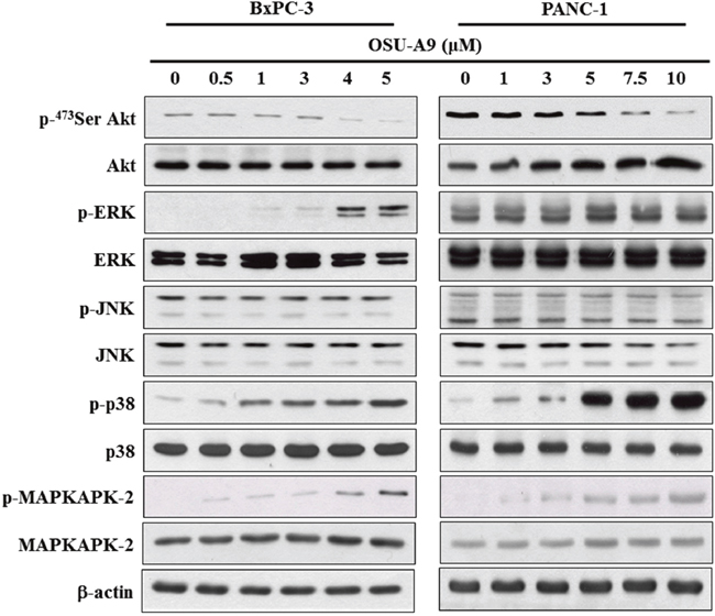 Effects of OSU-A9 on Akt and MAPK signaling pathways in pancreatic cancer cell lines.