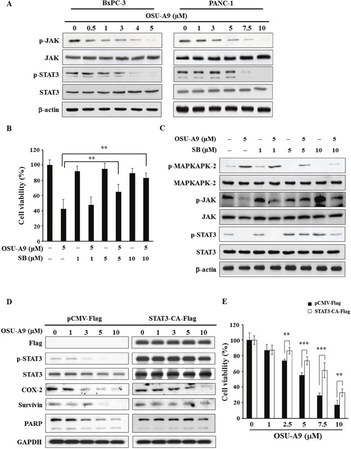 OSU-A9 down-regulates JAK-STAT3 signaling.