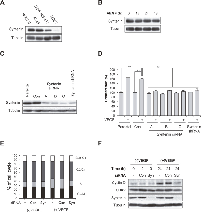 Syntenin is required for VEGF-induced proliferation of HUVECs.