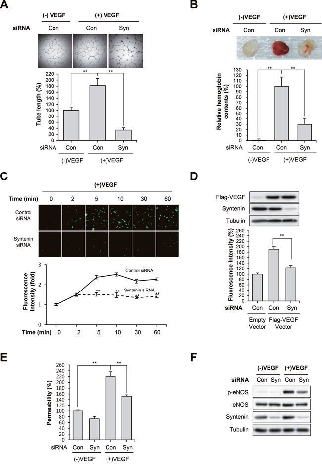 Knockdown of syntenin inhibits VEGF-induced vascular permeability and angiogenesis.