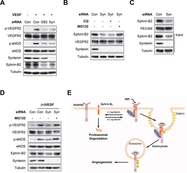 Syntenin regulates ephrin-B2 expression at the plasma membrane.