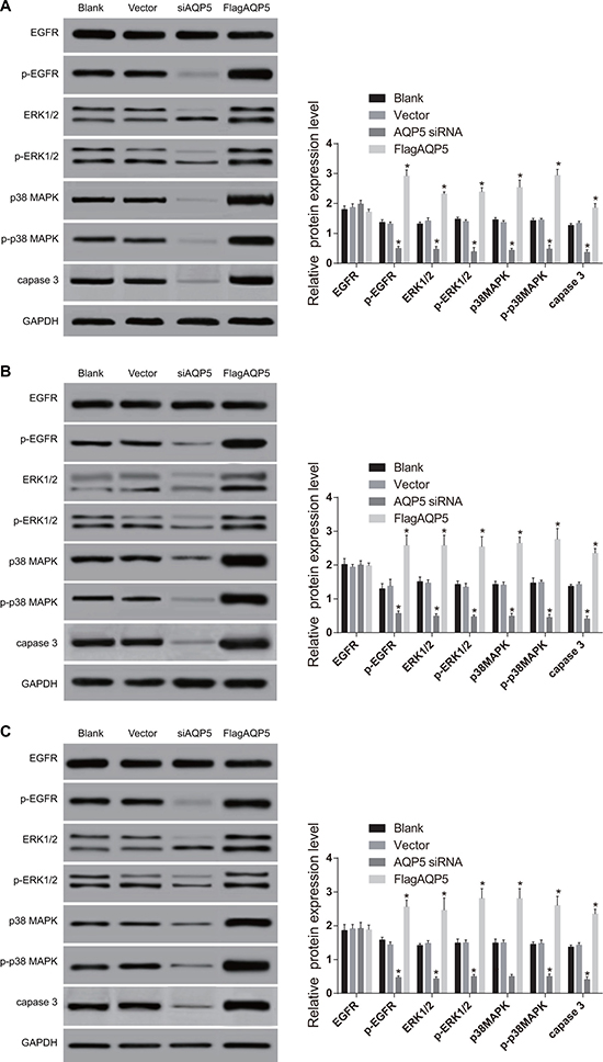 Effect of AQP5 gene silencing on the expressions of EGFR/ERK/p38 MAPK signaling pathway-related proteins in U251, U87-MG, and LN229 cells detected by Western Blotting.