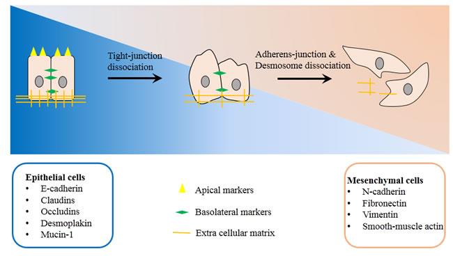 Basic mechanism of Epithelial-to-mesenchymal transition.