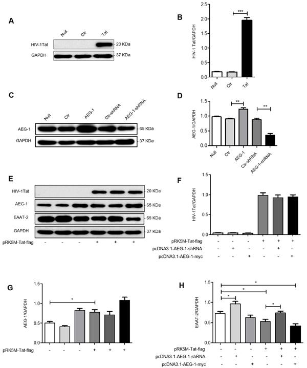 HIV-1 Tat downregulates EAAT-2 in U87 cells