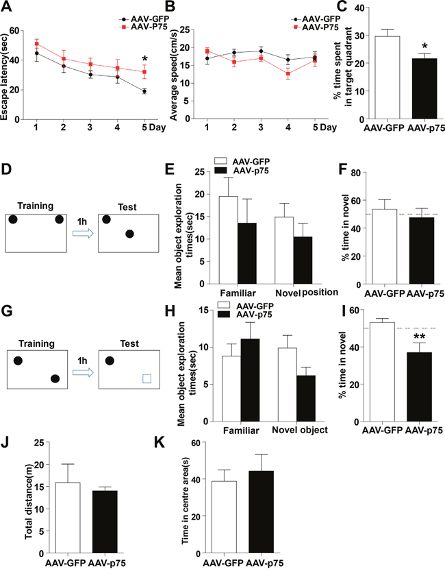Intrahippocampal infusion of AAV-p75 in normal rats reproduce the cognitive deficits.