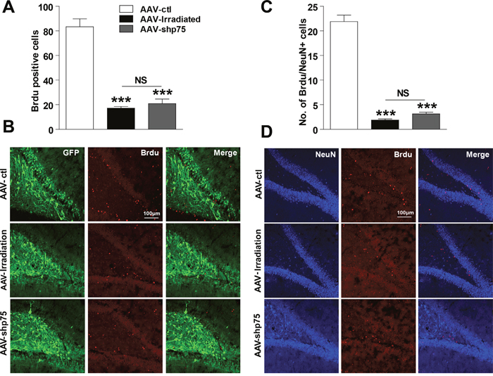 Effect of knockdown p75NTR on hippocampal neurogenesis in the irradiated rats.