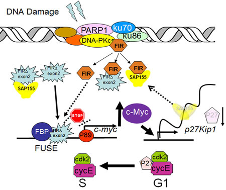 A model of alternatively splicing of FIR as a sensor for BLM-induced DNA-damage repair pathway by modulating c-Myc and P27Kip1 expression.