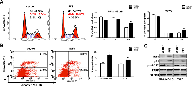 IRF8 induced G2/M cell cycle arrest and apoptosis in MDA-MB-231 and T47D cells.