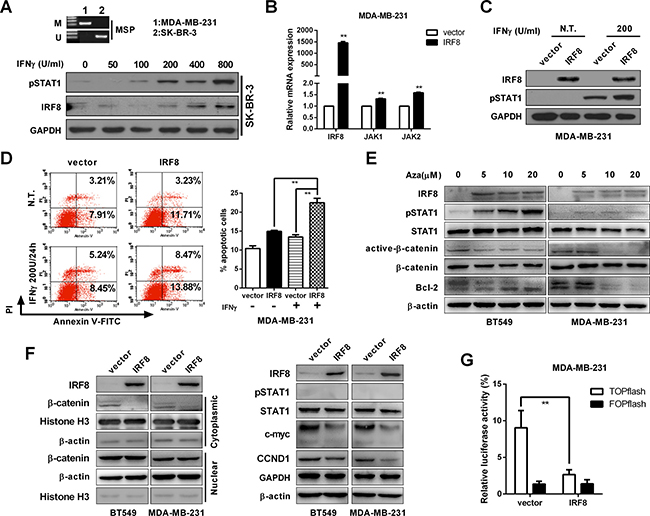 IRF8 expression enhanced the pro-apoptotic effect of IFN-γ and suppressed β-catenin signaling.