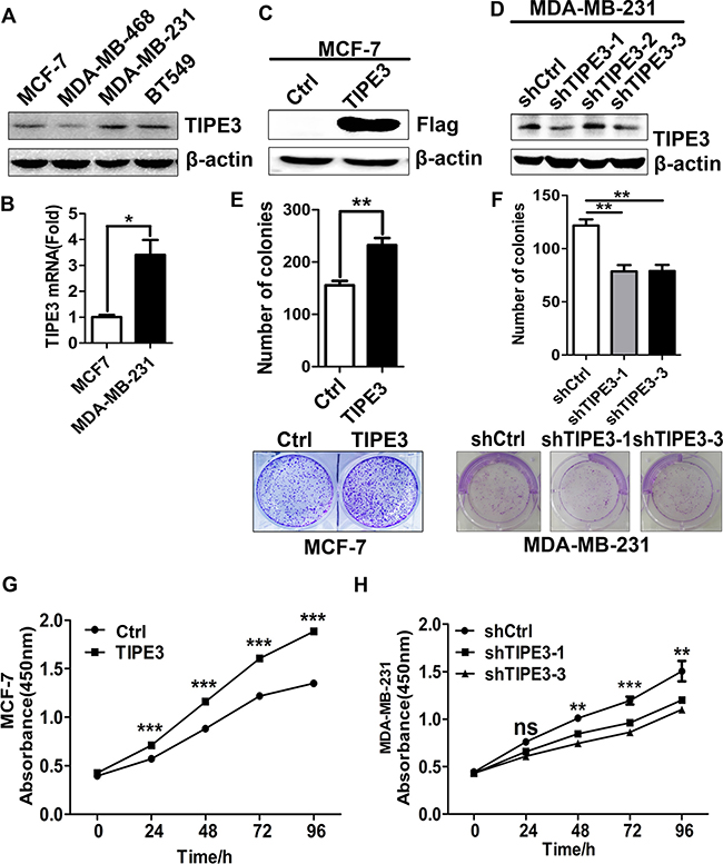 TIPE3 promoted proliferation of human breast cancer cells.