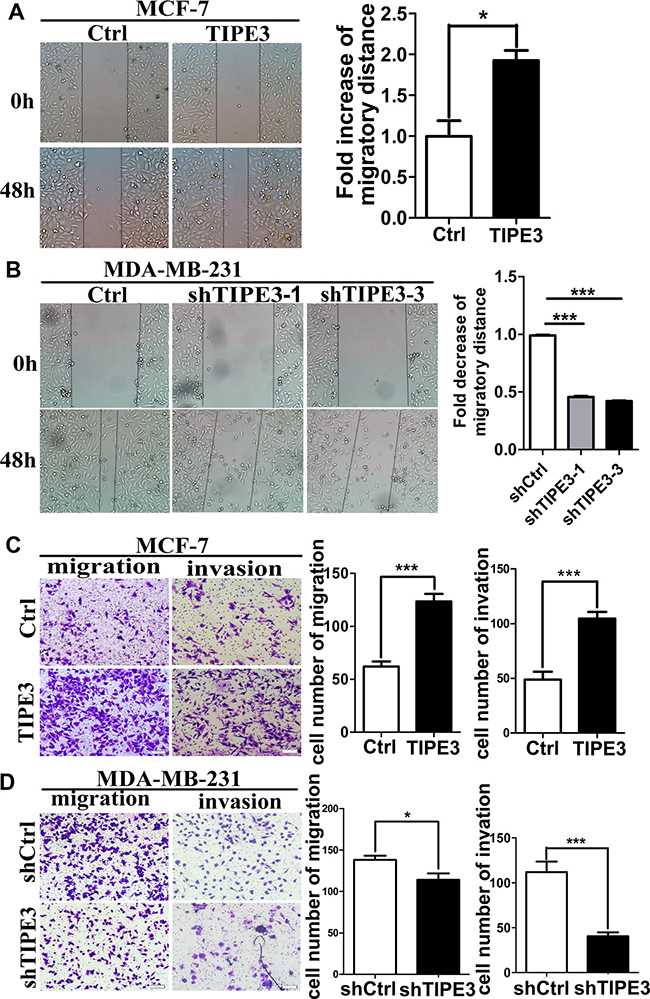 TIPE3 promoted migration and invasion of breast cancer cells.