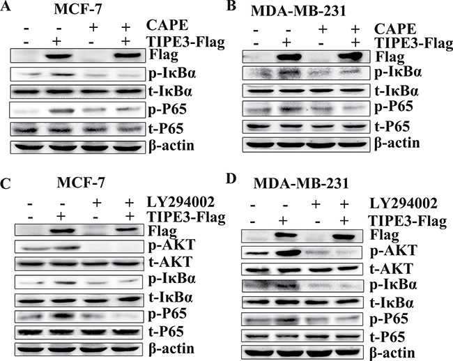 TIPE3-mediated activation of the NF-κB and AKT pathways in breast cancer cells.