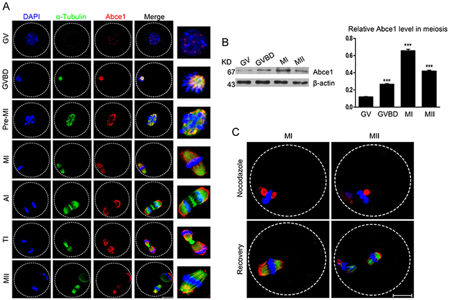 Cellular localization and expression of Abce1 during mouse oocyte maturation.