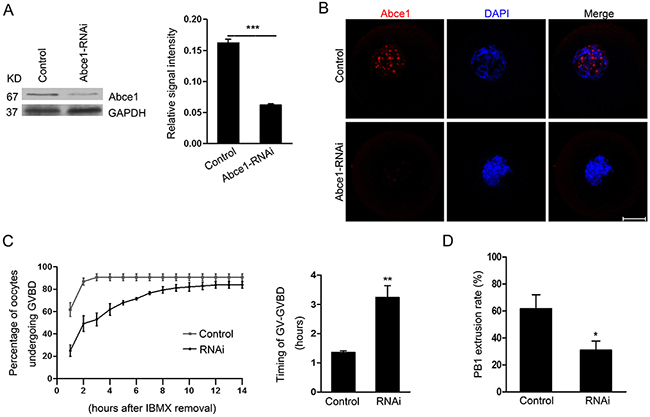 Abce1 RNAi delays the resumption of meiosis (GVBD) and affects first polar body extrusion.
