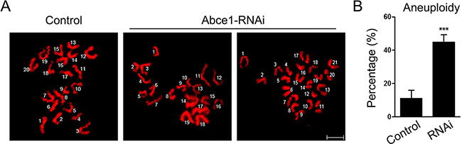 Increased incidence of aneuploidy in Abce1 knockdown oocytes.